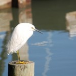 Perched Snowy Egret